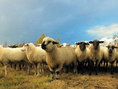 Herding sheep