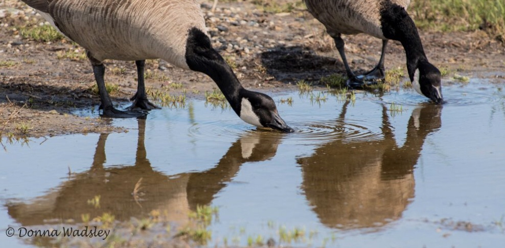 Geese drinking